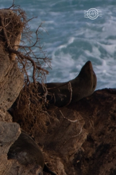 NZ Fur Seal @ Cathedral Rocks, Rottnest Is