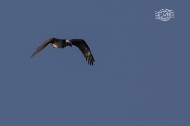 Osprey @ West End, Rottnest Is