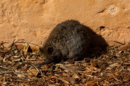 Quokka snoozing @ Rottnest Is