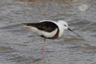 Banded stilt @ Rottnest Is