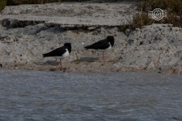 Pied oystercatcher @ Rottnest Is