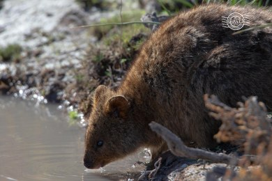 Quokka drinking @ Rottnest Is