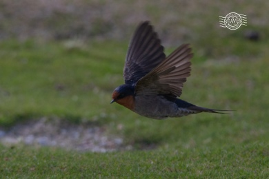 Welcome swallow @ Rottnest Is
