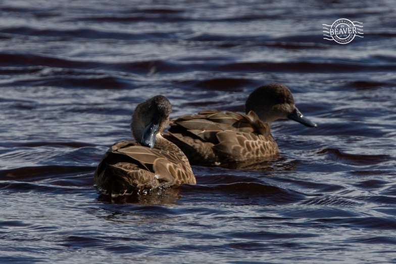 Grey teal @ Rottnest Is