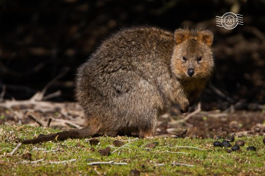Quokka @ Rottnest Is
