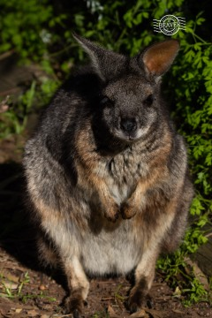 Tammar wallaby @ Bunbury wildlife park