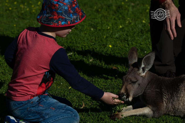 Liam feeding kangaroo @ Bunbury wildlife park