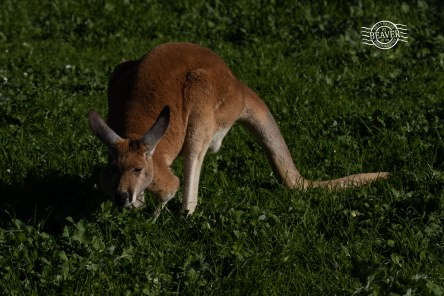 Red kangaroo @ Bunbury wildlife park