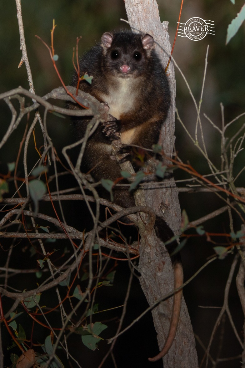 Western ringtail possum@ Dalyellup