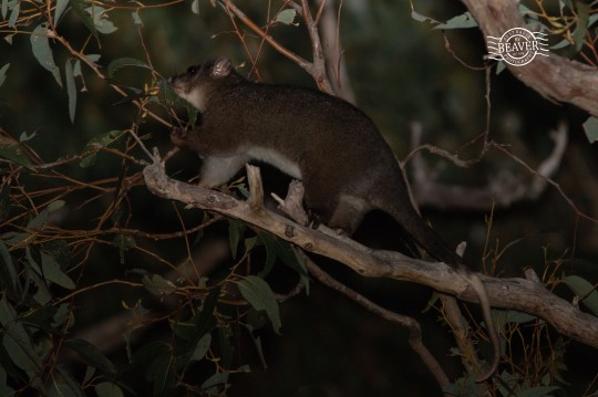 Western ringtail possum feeding on Jarrah @ Dalyellup