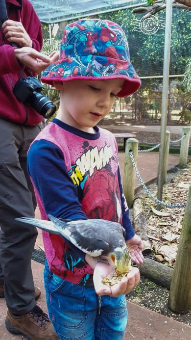 Liam feeding cockatiel @ Bunbury wildlife park