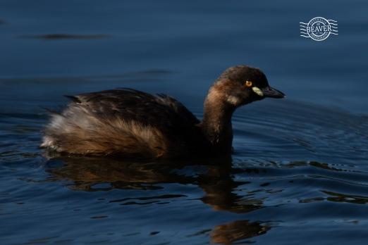 Australasian grebe @ The Lakes, Dalyellup