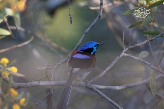 Purple-backed fairy-wren @ Kings Park