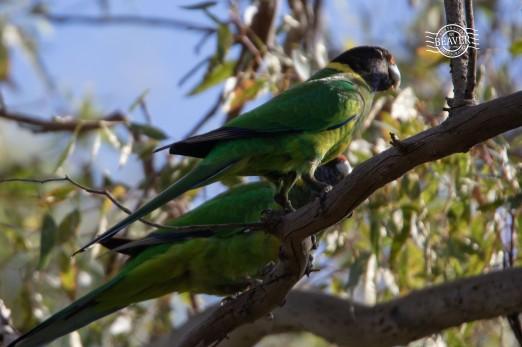 28 Parrots @ John Forrest NP