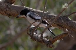 Grey butcherbird @ John Forrest NP