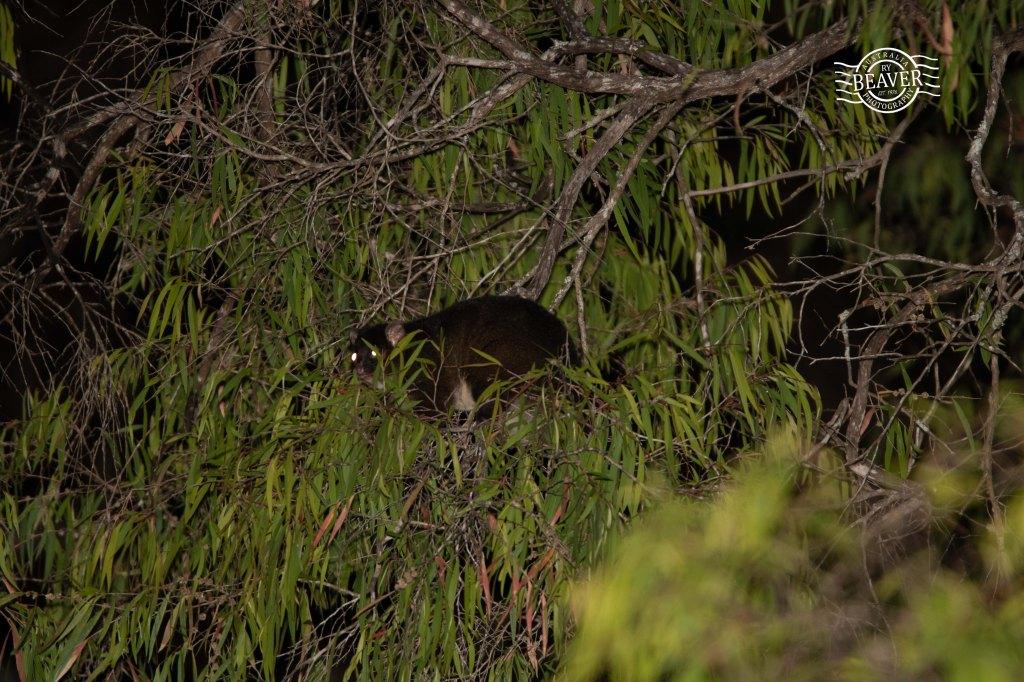 Possums | Wildlife Watching in Australia